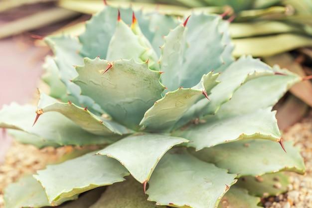 Cactus épineux vert à feuilles plates