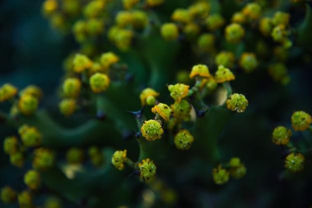 Cactus est en train de fleurir