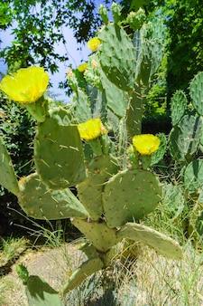 Cactus figue de barbarie avec de nombreuses fleurs jaunes, pousse dans le parc, à l'extérieur, cadre vertical.