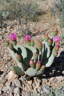 Cactus fleur du désert