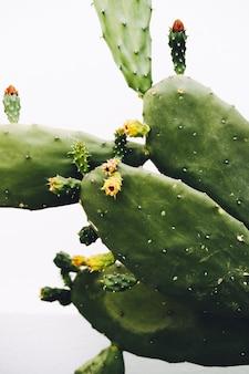 Cactus avec des fleurs sur fond blanc