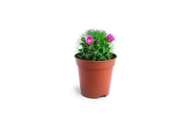 Cactus avec fleurs isolé sur blanc. cactus en fleurs.