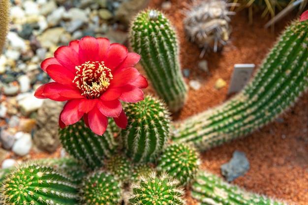 Cactus à fleurs trichocereus macrogonus dans un jardin botanique