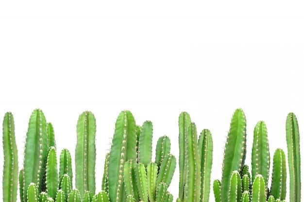 Cactus sur fond isolé