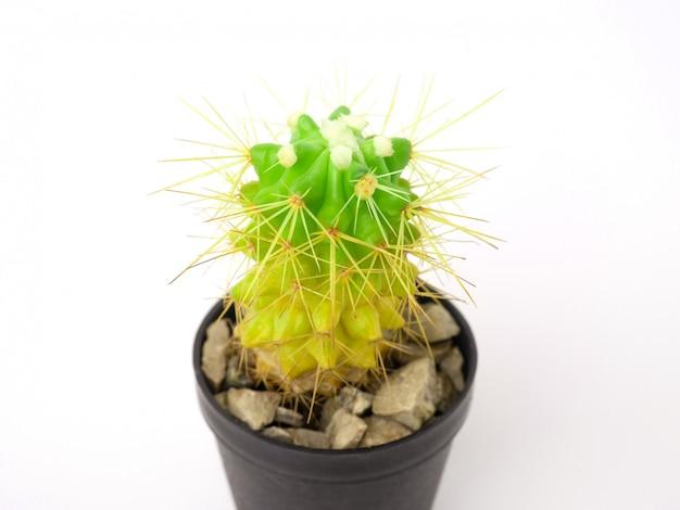 Cactus isolé sur fond blanc.