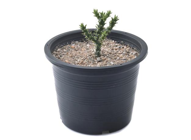 Cactus isolé sur fond blanc