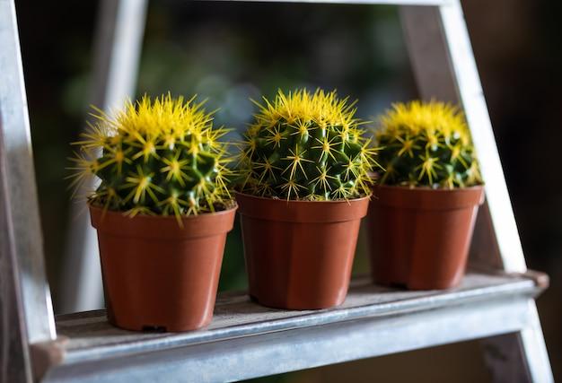 Cactus jaunes dans la vitrine