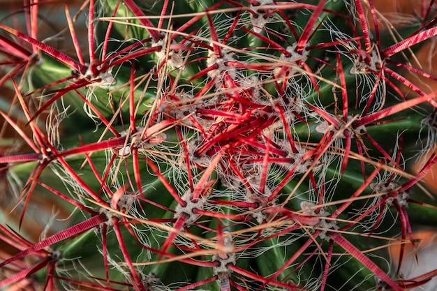 Cactus magnifiquement fleuri. vue d'en-haut. contexte.