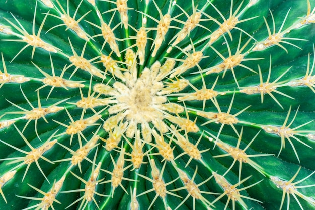 Cactus mexicains ferocactus glaucescens.