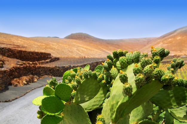 Cactus nopal à lanzarote orzola avec montagnes