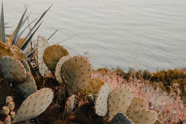 Cactus opuntia sur la mer