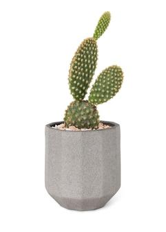 Cactus d'oreilles de lapin dans un pot