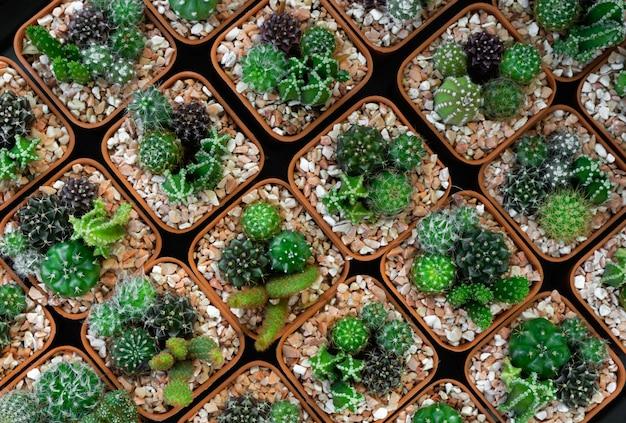 Cactus en pot et succulent