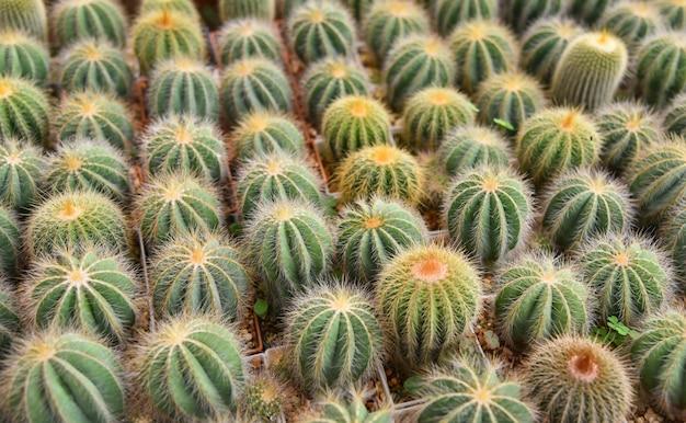 Cactus en pots dans la pépinière de jardin cactus ferme agriculture à effet de serre