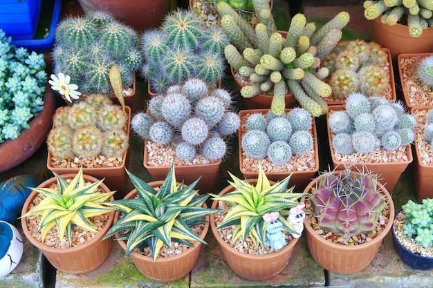 Cactus en pots à vendre
