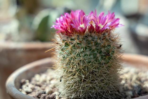 Cactus poussant dans un pot en terre cuite à fleurs roses