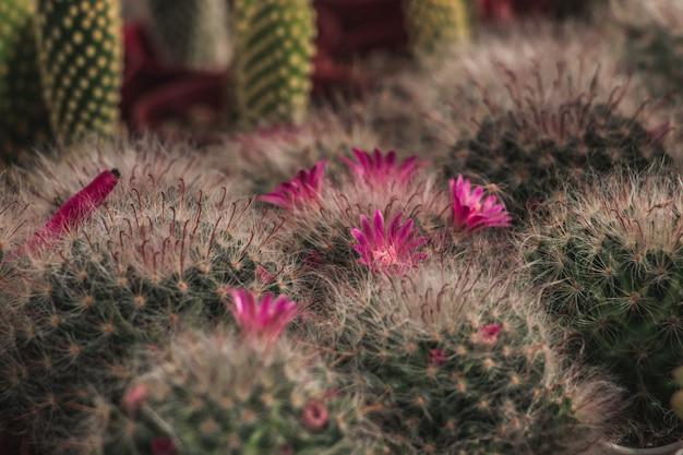 Cactus et sa fleur rose dans le jardin.