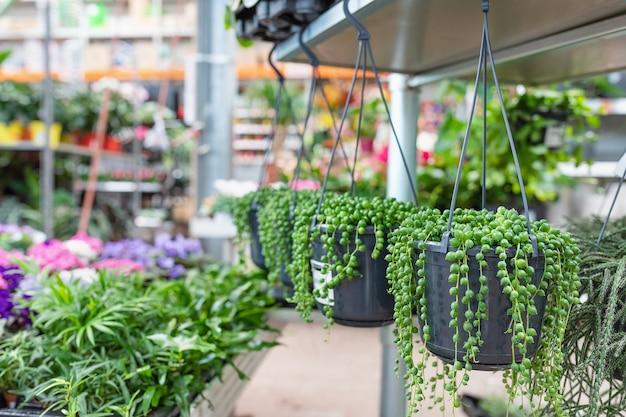 Cactus succulent avec des feuilles en forme de larme suspendu dans un pot en magasin de plantes