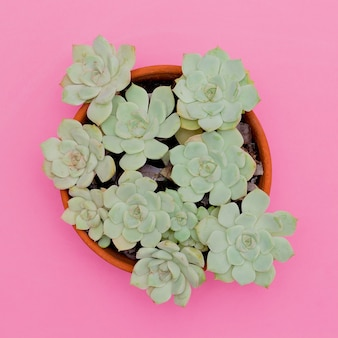 Cactus succulentes sur fond rose. plantes sur concept rose