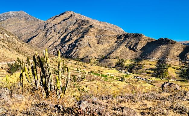 Cactus et terrasses à huambo près du canyon de colca dans la région d'arequipa au pérou