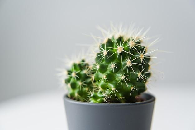 Cactus vert sur fond gris. plante domestique succulente