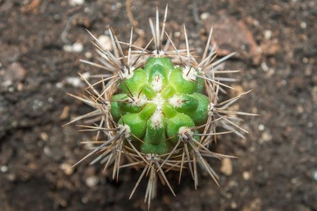 Cactus vert avec de grosses aiguilles sur le fond de la terre