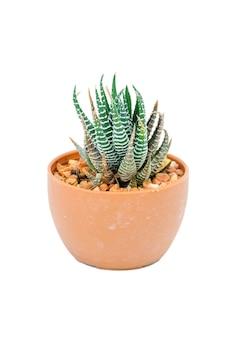 Cactus vert isolé sur blanc avec un tracé de détourage