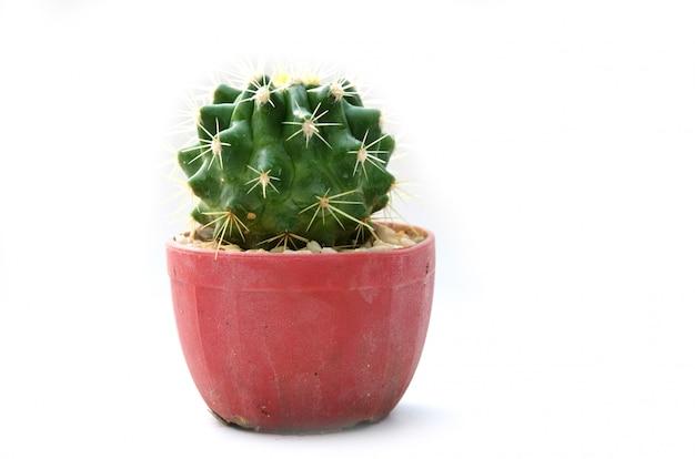 Cactus vintage fond blanc