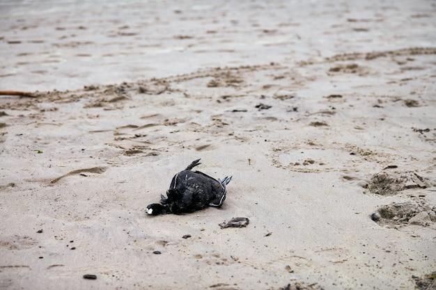 Cadavre d'oiseau, foulque eurasienne ou australienne, fulica atra, sur une plage de sable polluée