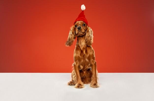 Cadeau du nouvel an. cocker anglais jeune chien pose. un mignon chien ou animal de compagnie brun ludique est assis sur un sol blanc isolé sur un mur rouge. concept de mouvement, d'action, de mouvement, d'amour des animaux de compagnie.