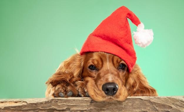 Cadeau de noël. jeune chien cocker anglais pose.
