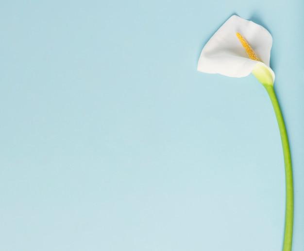 Cadre de belle calla lily avec fond bleu espace copie