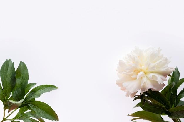 Cadre de bordure en fleur de pivoines blanches et feuilles vertes isolé sur blanc. mise à plat, vue de dessus. cadre de fleurs.