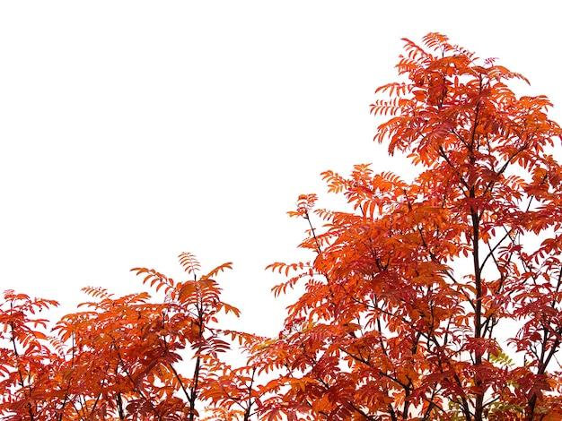 Cadre décoratif avec buisson d'automne rouge et feuilles isolés sur fond blanc