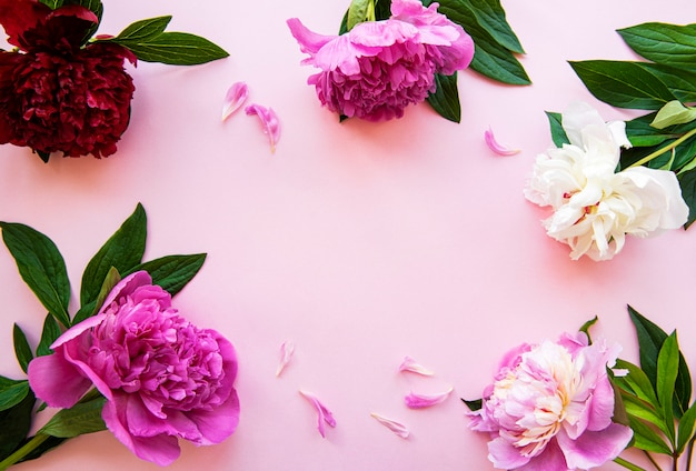 Cadre de fleurs de pivoine fraîche avec espace copie sur fond rose pastel, pose à plat.