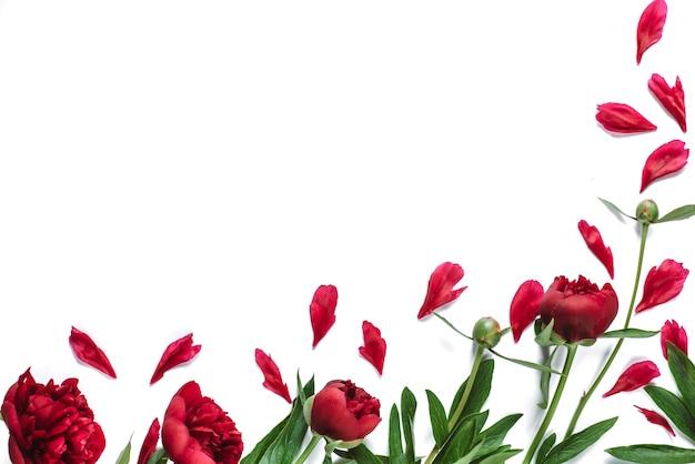 Cadre de fleurs de pivoines rouges sur blanc