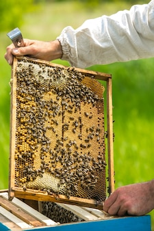 Cadres d'une ruche d'abeilles. la main de l'apiculteur travaille avec des abeilles et des ruches sur le rucher.