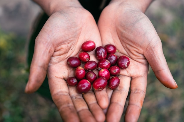 Café arabica mûr rouge sous la canopée des arbres dans la forêt, café cueillette à la main de l'agriculture