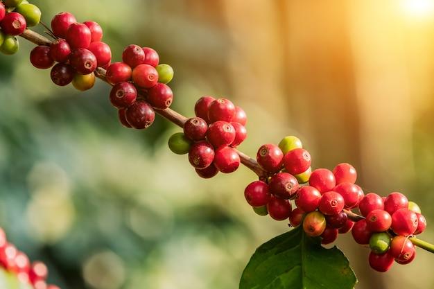 Café sur arbre arabicas grain de café cru et mûr dans le champ et la lumière du soleil.