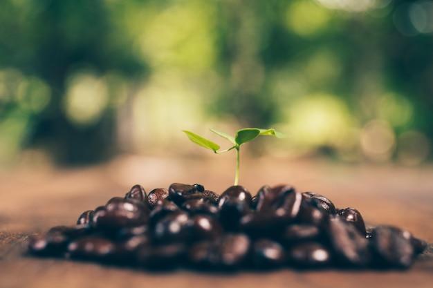 Caféier et grain de café, concept