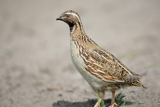 La caille commune (coturnix coturnix) ou la caille européenne extra close up portrait. les signes d'identification de l'oiseau et la structure des plumes sont clairement visibles.