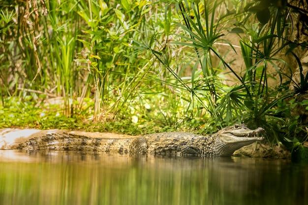 Caïman crocodile