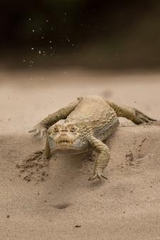 Caïman sauvage dans l'habitat naturel de la faune brésilienne sauvage du brésil pantanal