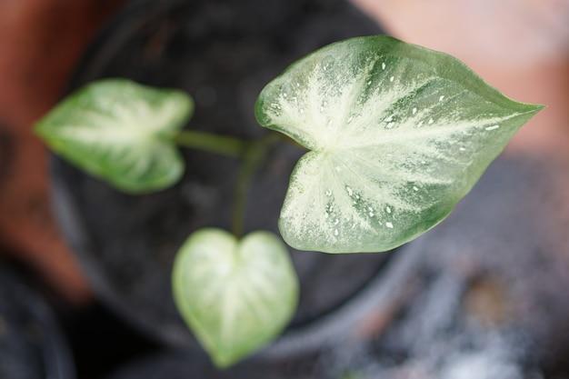 Caladium bicolor chaichon en pot grande plante pour décorer le jardin