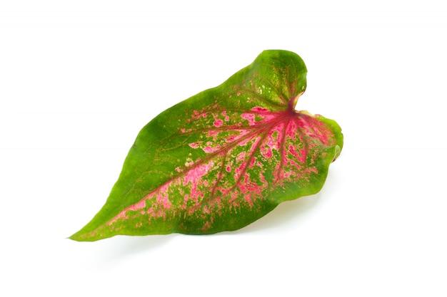 Caladium vert et rouge bicolore isolé sur fond blanc