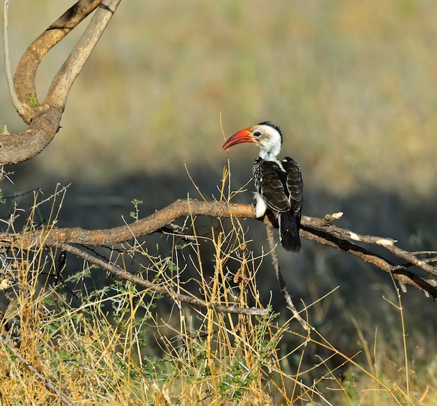 Calao à bec rouge dans le parc national de samburu