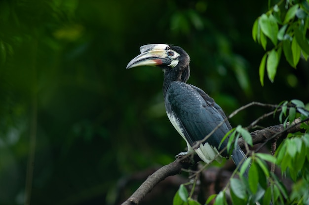 Calao cendré (anthracoceros albirostris) nous sur la branche dans la nature