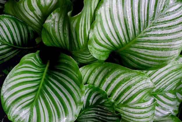 Calathea orbifolia houseplant feuilles vertes rayées fond naturel