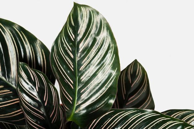Calathea ornata feuilles fond à motifs