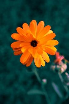 Calendula, couleurs inhabituelles